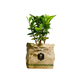 گیاه طبیعی آکوبا طلایی گلباران سبز گیلان مدل GN13-41K