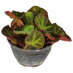 گیاه طبیعی بگونیا کد yt36