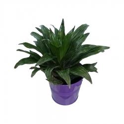 گیاه طبیعی دراسنا کامپکت کد zf05