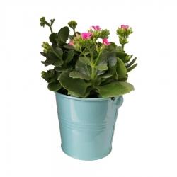 گیاه طبیعی کلانکوا کد af03