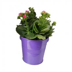 گیاه طبیعی کلانکوا کد af05