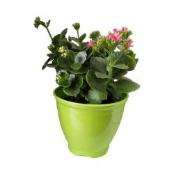 گیاه طبیعی کلانکوا کد ap02