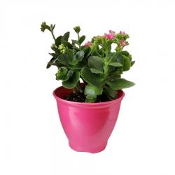 گیاه طبیعی کلانکوا کد ap04