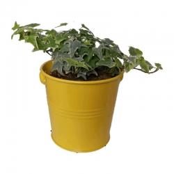 گیاه طبیعی پاپیتال کد wf01