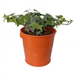 گیاه طبیعی پاپیتال کد wf02