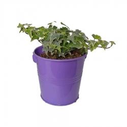 گیاه طبیعی پاپیتال کد wf05