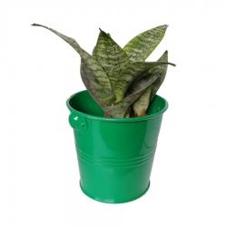 گیاه طبیعی سانسوریا پاکوتاه کد nf04