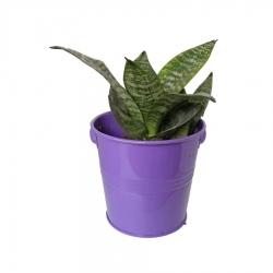 گیاه طبیعی سانسوریا پاکوتاه کد nf05
