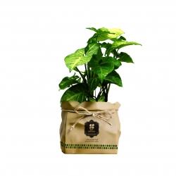 گیاه طبیعی سینگونیوم گلباران سبز گیلان مدل GN13-30K