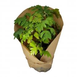 گیاه طبیعی سیسوس کد yt28