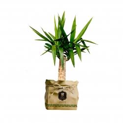 گیاه طبیعی یوکا گلباران سبز گیلان مدل GN12-16K
